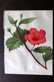 The Garden 1898 Antique Botanical Print. Hibiscus Cameroni